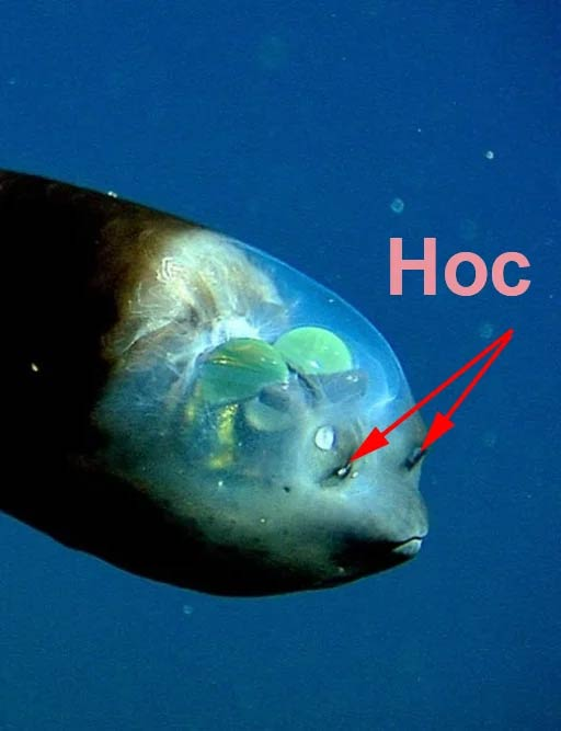 фото рыбы с прозрачной головой воспитала